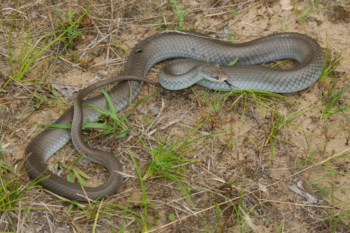 It Only Took Checking A Few Slabs Of Wood To Turn Up Nice Large Blue Racer In Shed