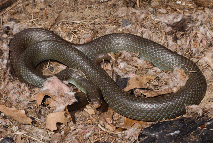 Blue Racer Coluber Constrictor Foxi